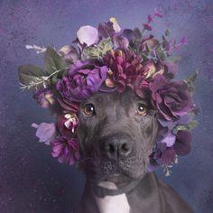 Una fotógrafa derribó la 'mala fama' de los perros Pit Bull - Yahoo Vida y Estilo en Español