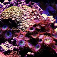 Zoanthids are beautiful and some of the easiest corals to keep! #zoas #zoanthids #reef101 #saltwater #reefmadness #reeforgohome