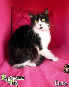 Meet Oreo, a Petfinder adoptable Domestic Medium Hair Cat | Akron, OH | Oreo is as sweet as her name!Note:  Please keep in mind that all adoptable pets need time to...