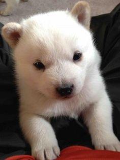 Husky, Labrador Retriever, Dogs, Animals, Labrador Retrievers, Animales, Animaux, Pet Dogs, Doggies