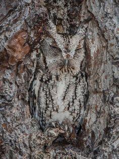 Owl taking a nap