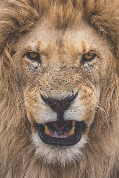 take action. stay inspired. — banshy:  Lion Portrait // Lucien Muller