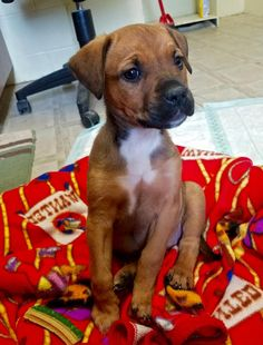 Ella is an adoptable Boxer searching for a forever family near Butler, IN. Use Petfinder to find adoptable pets in your area.