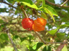 Pitanga (Eugenia uniflora)