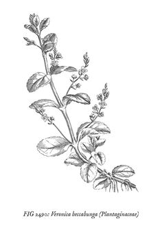 Free vintage botanical wall art prints featuring delicate, black and white line art drawings of medicinal plants. Vintage Botanical Prints, Botanical Wall Art, Floral Wall Art, Botanical Drawings, Botanical Illustration, Free Printable Art, Printable Vintage, Free Printables, Plant Pictures