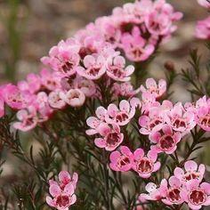 Wax Flowers, Peach Flowers, Types Of Flowers, Summer Flowers, Flower Vases, White Flowers, Flower Arrangements, Australian Native Garden, Australian Native Flowers