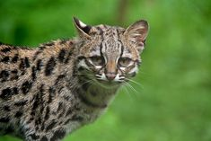 Margay - Margay - Wikipedia, the free encyclopedia Beautiful Creatures, Animals Beautiful, Cute Animals, Wild Animals, Small Wild Cats, Big Cats, Rusty Spotted Cat, Wild Cat Species, Rare Species
