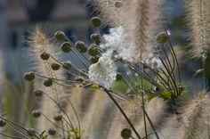 de meeste siergrassen bloeien vanaf de nazomer tot laat in de herfst. Aan het einde van hun bloei kunt u ze gerust laten staan, want dan houden ze nog hun sierwaarde. Snoei siergrassen tot op 10-20 cm vanaf het vroege voorjaar, zodra de plant weer groen gaat uitlopen. Dandelion, Flowers, Gardening, Dandelions, Lawn And Garden, Taraxacum Officinale, Royal Icing Flowers, Flower, Florals