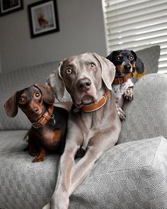 Instagram photo by harlowandsage - Harlow, Indiana and Reese mean the world to us! And so does their safety and well-being. Thanks to their @LinkAKC smart collars, we now worry a little less. With Link's wellness and activity tracking feature, we can customize an activity plan that is just right for each dog, keep track of their individual health records and even monitor their daily activity levels- Harlow likes to run two miles per day, Indiana likes to play fetch 23 hours per day and…