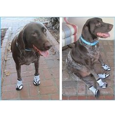 German shorthaired pointed in adorable dog boots!