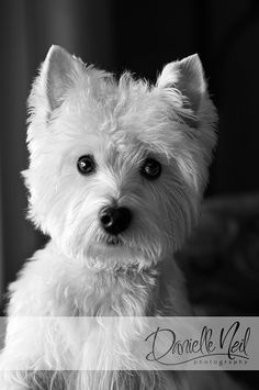 View Portraits From This West Highland White Terrier's Portrait Session. Danielle Neil Photography Offers Custom Dog Photography For Owners In Ohio. Westies, Westie Puppies, Doggies, Lab Puppies, Chihuahua Dogs, Beautiful Dogs, Animals Beautiful, Cute Animals, Highlands Terrier