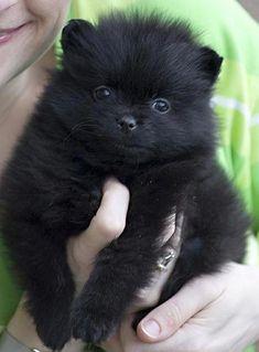 My Fluffy Black Pomeranian Puppy Cute Pomeranian puppy