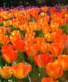 Tulip American Dream - Giant Darwin Hybrid Tulips - Tulips - Fall 2015 Flower Bulbs