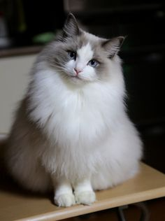 I'm pleasantly plump, but oh so gorgeous. I'm a genuine Ragdoll feline, and highly prized by cat lovers!