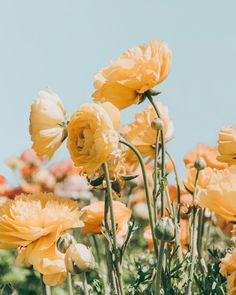 Daydream: A Picnic in a Flower Field, Somewhere — the tangled tomato Spring Aesthetic, Nature Aesthetic, Flower Aesthetic, My Flower, Wild Flowers, Beautiful Flowers, Yellow Wildflowers, Mellow Yellow, Belle Photo