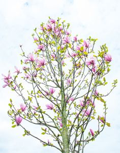 Ann-Kristina Al-Zalimi, Magnolia, tree, träd, flora, trädgård, puutarha, garden