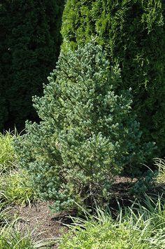 Blue Tear Drop Black Spruce (Picea mariana 'Blue Tear Drop') at Weston Nurseries