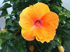Hibiscus Yellow Alone - Hibiscus - Wikipedia Hibiscus Flowers, Beautiful Flowers, Exotic, Orange, Yellow, Rose, Plants, Hibiscus, Pretty Flowers