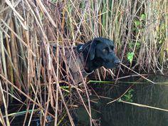 duck hunting. black labrador
