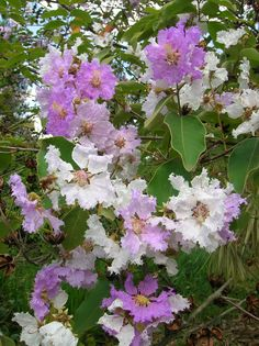 TROPICAL CRAPE MYRTLE / RESEDÁ-LILÁS | ( Lagerstroemia loudo… | Flickr - Photo Sharing!