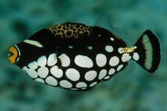 Os 10 Peixes mais bonitos do Mundo - Peixe-Porco Palhaço