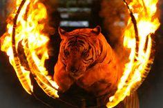 LOBO REPÓRTER: Nova Iorque proíbe animais selvagens em circos
