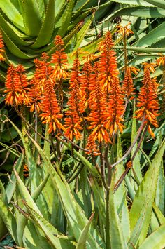 Landscaping with aloe hybrids | SA Garden and Home Houseplants, Color Splash, Cactus, Landscaping, Gardens, Inspiration, Eye, Beautiful, Ideas