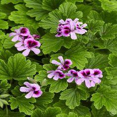Leaf scented Pelargonium Orange Fizz