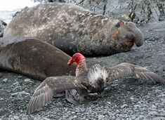 Antarctic Giant Petrel covered in blood