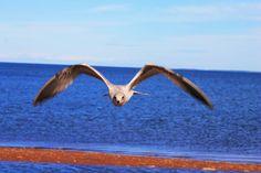 Seagulls at Miller's Beach in gorgeous Dalhousie, New Brunswick where ocean meets mountains