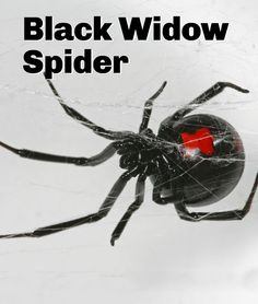 How dangerous are black widow spiders? General FAQs about this venomous species.