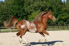 Amerika Gypsy King - Welsh Pony of Cob Type, Amerika stud CZ