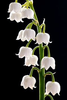✯ Lily of the Valley 2661 .. By Andy Small✯