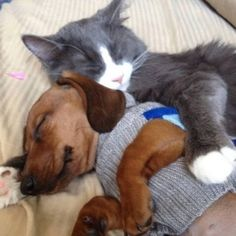 My cat Smokey slept just like this with my chihuahua Taco Belle (except Taco was much smaller)