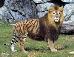 """A Liger! The awesome hybrid cross between a female tiger and a male lion. They are the largest of all the jungle cats, """"growing to almost the lion and tigers combined size."""" Interestingly, """"in history there have been stories of ligers found in the wild. Ligers were long thought to be sterile, but this theory was disproved in 1953, when a 15 year old liger was successfully mated with a male lion. The cub survived into adulthood, despite having poor health."""""""