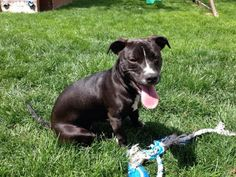 Rein available from Adopt a Pit Rescue in Germantown Ohio