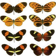 Heliconius, es un género de lepidópteros perteneciente a la familia Nymphalidae.