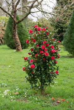 A red camellia in Cornwall, England. Photograph by Heather Edwards. See more at Landscaping Ideas: The Case for Camellias. Azalea Flower, Garden Landscape Design, Plants, Landscape Design, Garden Shrubs, Landscaping With Rocks, Shrubs, Flowers, Landscape