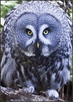 Great Grey Owl - photo by Xavcth