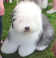 puff old english sheepdog
