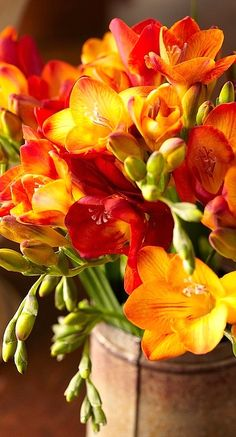 "Freesia is a genus of herbaceous perennial flowering plants in the family Iridaceae. Species of the former genus Anomatheca are now included in Freesia.The plants commonly known as ""freesias"", with fragrant funnel-shaped flowers, are cultivated hybrids of a number of Freesia species."