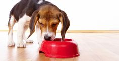 If your dog is suffering from a minor digestive upset, you must consult your vet. Ensure you keep your dog well hydrated and, if the problem persists, consult your nearest vet. Food Plot, Sleep Apnea Remedies, Dry Dog Food, Pet Food, Pet Care Tips, Dog Eating, Slow Down, Pets, Outdoor Life