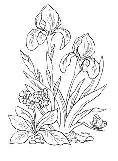Раскраски ирис садовый цветочек