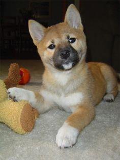 Shibu Inu.. I want one soo bad!