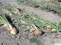 If onion is sick. Tips from experienced gardeners 0 Cactus Plants, Onion, Sick, Gardening, Cacti, Onions, Lawn And Garden, Cactus, Horticulture