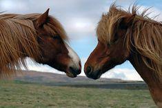 Eventyr på Island med meditation, natur og ridning på islandske heste   8. - 13. oktober 2018  Island er præget af store naturkræfter, åbne vidder, smukke bjerge og en undergrund, der syder og bobler under fødderne på en. Island indbyder til at blive udforsket igennem sanserne. På turen vil vi finde ind til roen indeni og bruge den storslåede natur