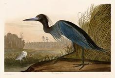 307 Blue Crane