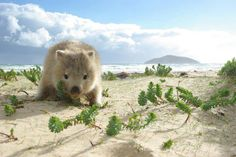 Wombat by the beach