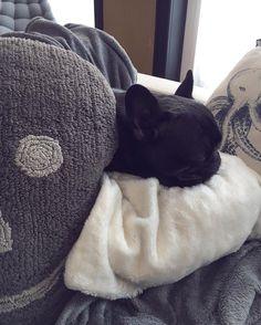Lendemain de réveillon fatigué, pour le petit loup ! ❄ Bah oui, mais déchiqueter minutieusement du papier cadeau jusqu'à 2h du matin, ça demande de l'énergie !  Très joyeux Noël à tous #yoda #dog #bouledoguefrancais #batig #sleepydog #christmas