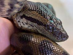 Anna The Anaconda Gives 'Virgin Birth' At New England Aquarium — HuffPost Anaconda Snake, Green Anaconda, New England Aquarium, Pit Viper, Komodo Dragon, Vertebrates, How Big Is Baby, All Gods Creatures, Bird Species